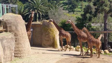 That is a lot of giraffes!