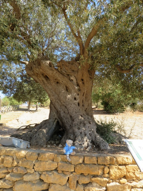 The 500 year old tree