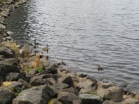 Playing with the ducks