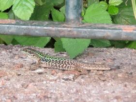 New lizard friend
