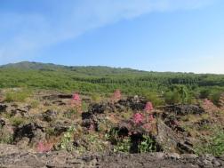 Pretty flowers on Etna