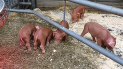 Snuggly piglets