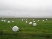 Marshmallow farm?