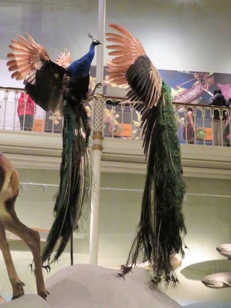 Peacocks in flight
