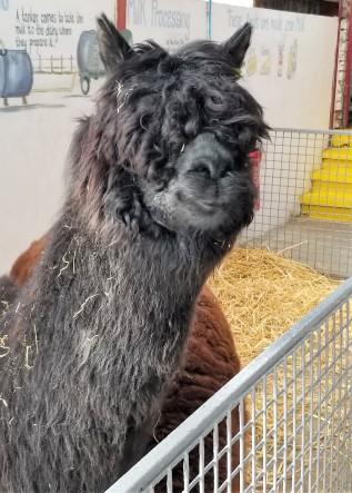 My new alpaca friend
