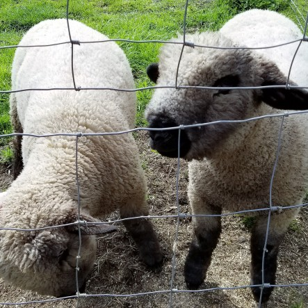 These sheep were so nice