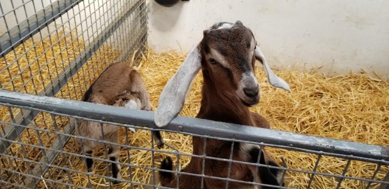 Floppy eared goat kid